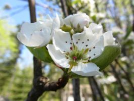 Pear Blossom II by mirrorage