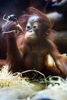 6536 - Orangutan by Jay-Co
