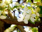Crabapple Blossoms by Hederahelix82688