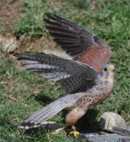 Common Kestrel by Parides