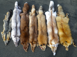 Foxes 1.13.2014 by TabbyFoxTaxidermy
