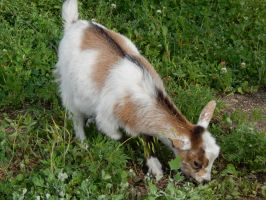 Baby Goat Grazing by DragonHaven42