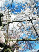 Sky Through a Cherry Tree by cami-rox