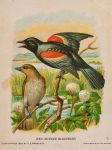 Victorian Advertising Card - Red Winged Blackbird by Yesterdays-Paper