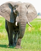African Elephant bull approaching by pollittpics