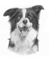 Border Collie Drawing by Kot-Filemon