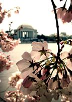 cherry blossoms III by givepeaceeachance