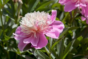 Open Peony by muffet1