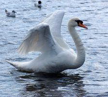 swan spreading wings 6 by LubelleCreativeSpark