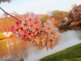 Cherry blossom on the lake by looking-for-hope