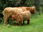 Highland Catle- cow and calf by schaduwvacht