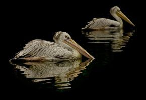 Pelican pair by AngiWallace