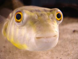 PUFFER FISH by doublehelix1033