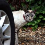 Spooked Cat Behind Car Wheel by aegiandyad