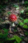 Russian Forest'15 - Amanita Muscaria by DrMcKenna
