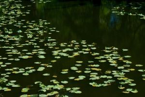 Lily pads 1 by Alegion-stock
