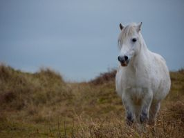 Welsh Mountain Pony II by celtes