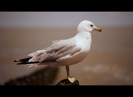The Gull by Kyle197