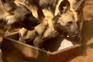 Dinner time for the wild dogs by cathy001