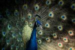 Peacock Portrait -IV by InayatShah