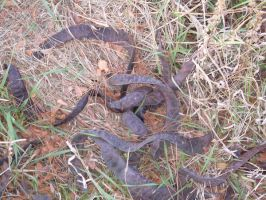 Black Locust Snakes... not by Zsantz