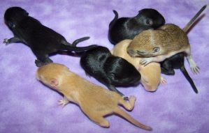 gerbil babies furred by wiccanwitchiepoo