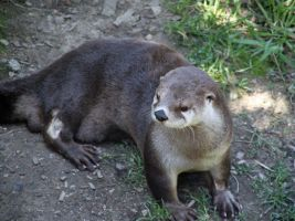 Otter by Dewheart85