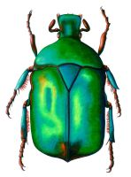 Blue Rose Chafer Beetle by xfkirsten
