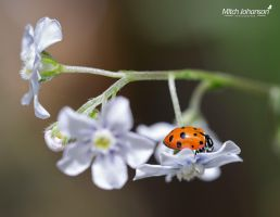 Lady Bug On a Flower by mjohanson