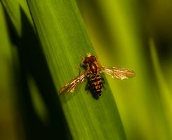 Hover Fly 12 by boron