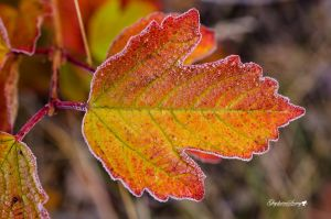 A frosty leaf for Tea by gigi50