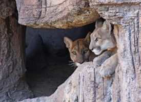 Mountain Lion 2677 by mammothhunter