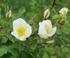 Rosa spinosissima 'Nils' 1 by Kattvinge