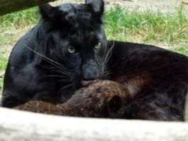 2014 - Black leopard and cub 3 by Lena-Panthera