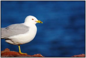 Classic Seagull by adragor