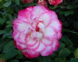 Pink and White Rose in Full Bloom by ShipperTrish