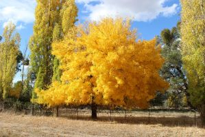 autumn colour near Frogmore, NSW. 1-5-13. by artshay