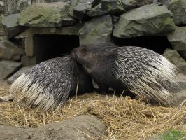 Indian Crested Porcupine 03 by animalphotos