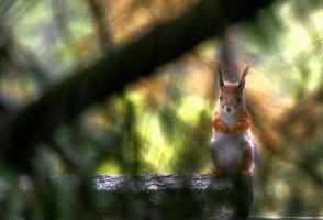 Squirrel III by sampok