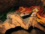 Corn Snake by The-strawberry-tree