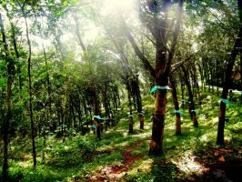 rubber trees by anupamas