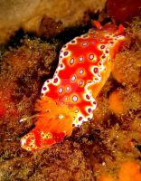 Bright Orange Nudibranch by underwater-girl