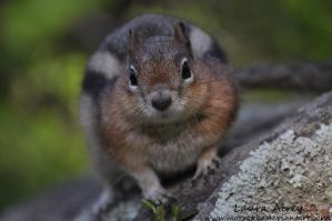 Fat Chipmunk by MorRokko