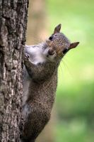 Squirrel by rbnsncrs