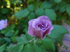 Purple Rose by Jo-walter14
