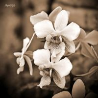 Orchidee en angelique by hyneige