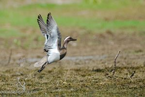 Garganey (male) by DebasishPhotos