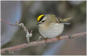 Golden-crowned Kinglet by Ryser915