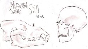 wolf human skull study by Zire9