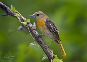 young oriole by DGAnder